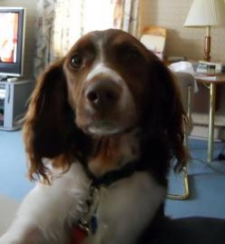 Brittany Spaniels, Great Hunting Dogs and Pets