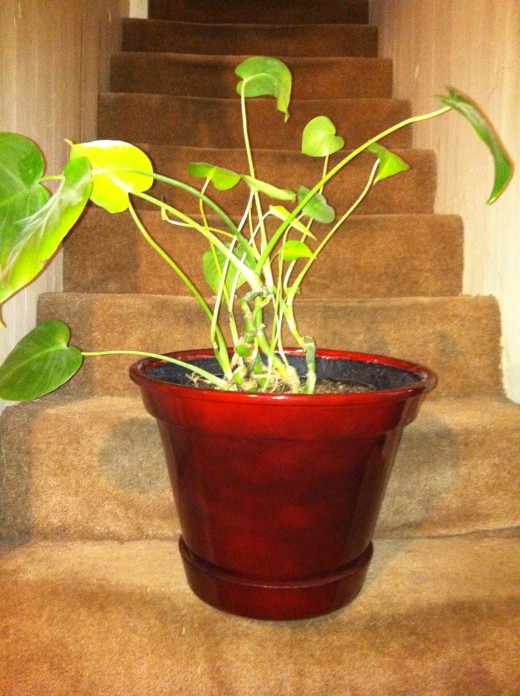 Potted in grow pot with plastic liner, that has been inserted into a decorative container.