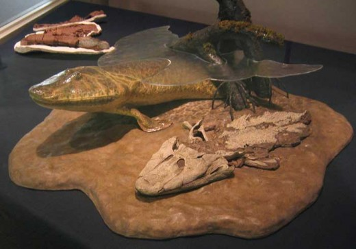 Tiktaalik fossil with model