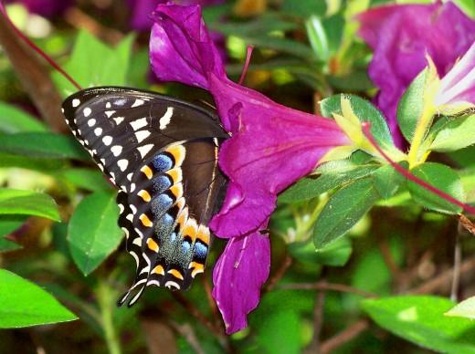 Swallowtail in Azalea.