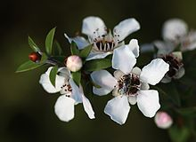 Manuka flowers.