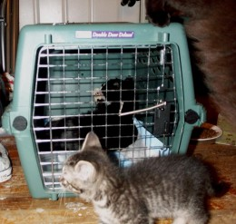 Dot recovering after his neuter.  Carbon jumping off the top of the carrier, and Rori in front.