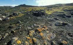 Lichens are a common plant on the tundra