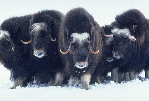 Musk Oxen or Oomingmak (Inuit)