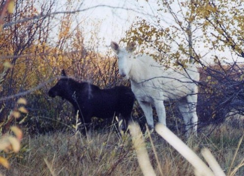 White and black moose