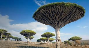 Dracanea drago, dragon blood tree.