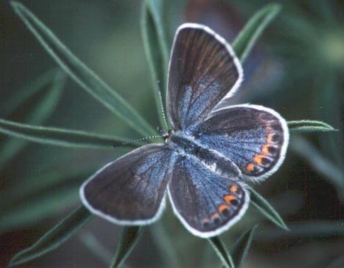 A female Karner Blue Butterfly
