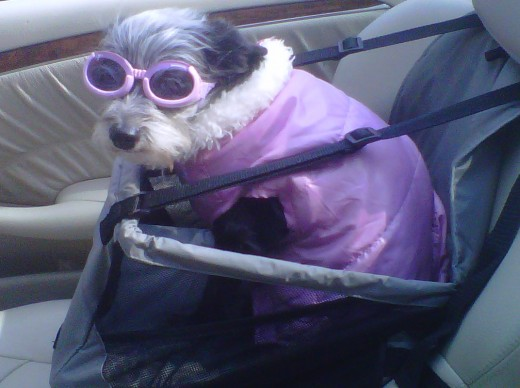 Gizmo in her convertible garb. She rides in the backseat while Mom, white hair flying, rides in the front.