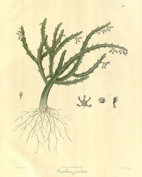 Carallluma fimbriata: 1830 botanical drawing.