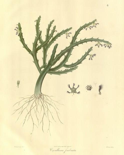 Carallluma fimbriata: 1830 botanical drawing.
