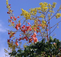 Chinese Golden Rain Tree - Source: mauroguanandi, Creative Commons via Wikimedia Commons