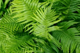 Types of Plant: Ferns