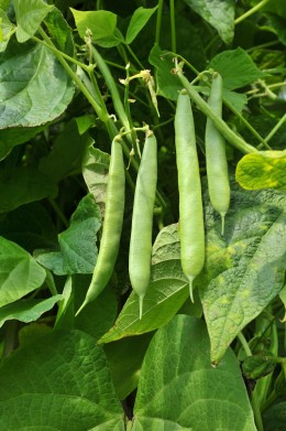 I grew up with 'Schrebergaerten' full of the wooden creations that were holding up the bean plants. My Grandma would cook those beans in ways that made us eat and eat and eat!