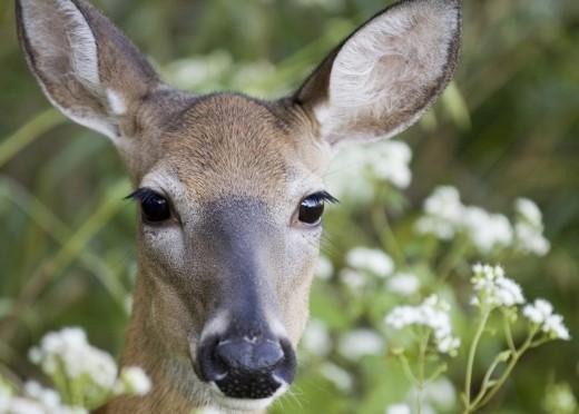 Key deer are smaller versions of whitetail deer.