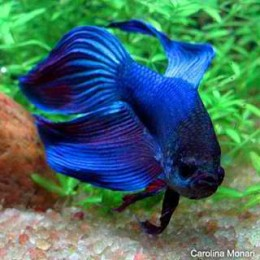 how to breed betta fish for profit