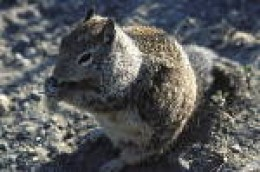 "Adult Ground Squirrel-- fat n' sassy. Looks like our ""Joe Peeper""."