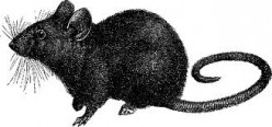 GOPHER RATS LOVE TO PUSH THEIR WEIGHT AROUND. YOU CANNOT THREATEN THEM INTO LEAVING. THEY WILL STAND UP AND FIGHT YOU.