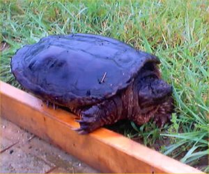 SNAPPING TURTLES ARE THE WORST ANIMAL BULLIES OF ALL. THEY ARE STUBBORN AND THINK WHERE THEY ARE AT, BELONGS TO THEM. BEWARE.