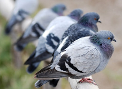 Pigeons are easy to keep