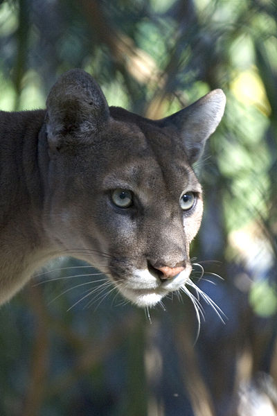 The beautiful Florida panther on the endangered list in the Everglades.