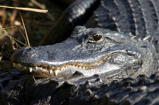 Alligator, one Florida animal that is very abundant in the Everglades and all of Florida.