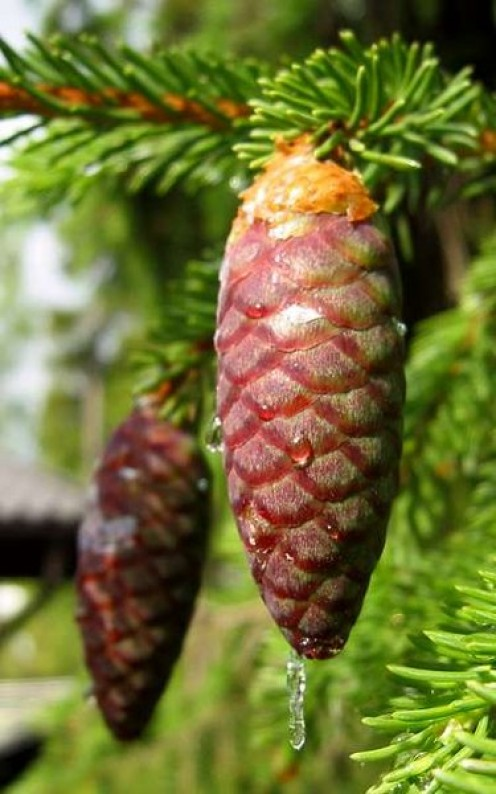 Norway Spruce Cone - I couldn't find a usable photo for the actual tree, though I wish I could go and take a photo myself.  This likely would be very similar though, to the Norway spruce that is so old. (With some variation of course.)