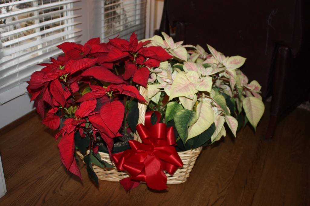 Caring For A Poinsettia Plant After The Holidays Keep It