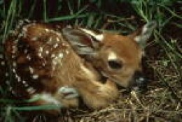 White Tail Deer Fawn-- It's not abandoned. Mom Leaves it alone to prevent her smell from attracting predators. The babies have no odor.