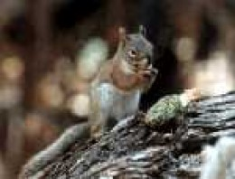 Red Squirrel-- outside in the wild.