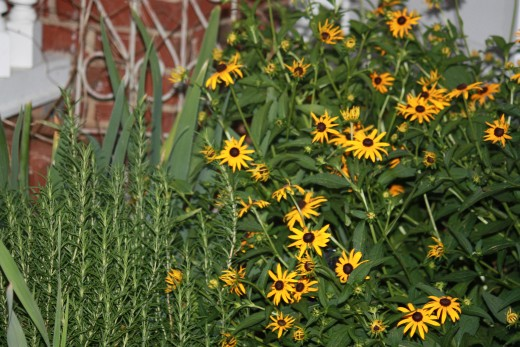 Black eyed Susans in a sunny part of my garden