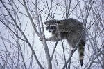 Clever, entertaining raccoons can be a clever, entertaining headache as a pet.