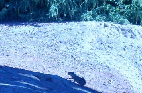 A ground squirrel on the hurry