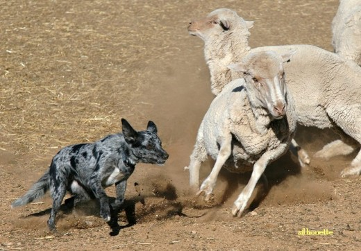 Australian Koolie Herding Sheep