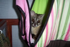 My pet genet, hiding in plain site, waiting to eat people's children.