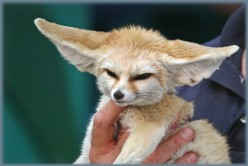 Wild and Dangerous? A captive fennec fox.