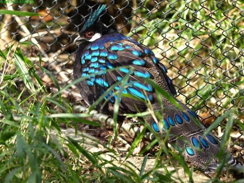 Palawan Peacock