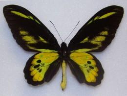 Rothschild's Birdwing (male)
