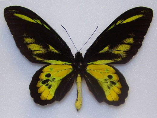 Rothschild's Birdwing (male)