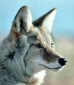 Coyotes hunt nocturnally in packs but can attack anytime.