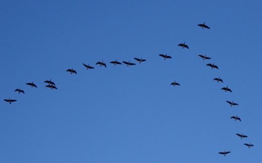 A flight of south-bound Canadas