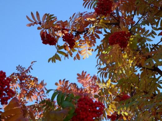 Mountain Ash in the autumn sunshine