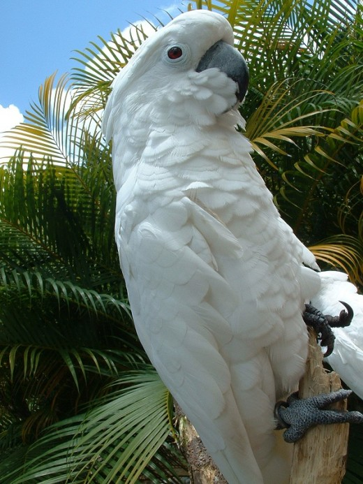 Muluccan cockatoos are the loudest parrot.