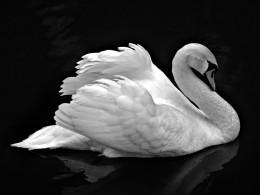 Swan on Black Water