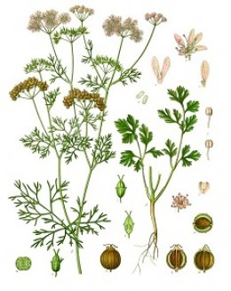 Cilantro, flowers, leaves and coriander seeds.