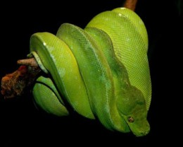 Morelia Viridis , More Commonly Known As A Green Tree Python.