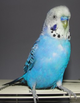 Visit Hand Fed Budgies for more pictures, videos, and information.