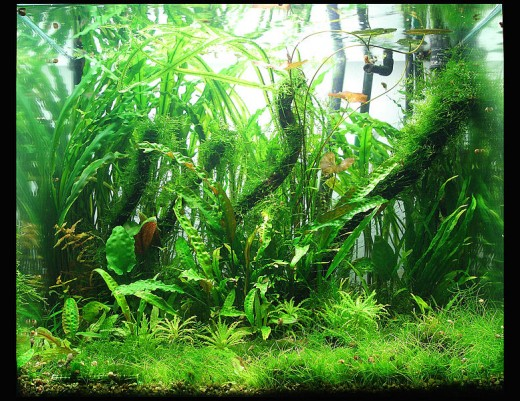A beautifully planted freshwater aquarium.