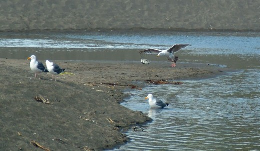 Gull Hovers Over an Ocean Stream