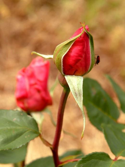 Deep Red Rose Bud