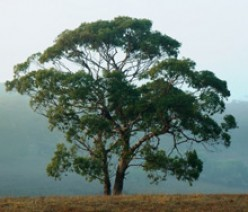 The Many Benefits of Eucalyptus Oil